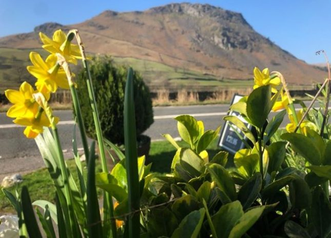 Daffodils looking to Helm Cragg